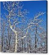 Majestic Sycamore In Winter Canvas Print