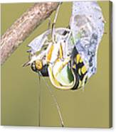 Malachite Butterfly Emerging 4 Of 6 Canvas Print