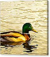 Malard Drake In Golden Light Canvas Print