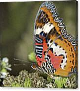Malay Lacewing Canvas Print