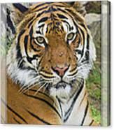 Malayan Tiger 1 Canvas Print