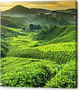 Malaysia, Pahang, Cameron Highlands Canvas Print