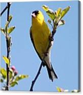 Male American Goldfinch Gathering Feathers For The Nest Canvas Print