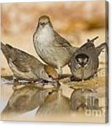 Male And Female Eurasian Blackcaps Canvas Print