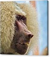 Male Baboon Canvas Print