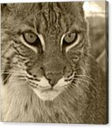 Male Bobcat - Sepia Canvas Print