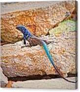 Male Bonaire Whiptail Lizard Canvas Print
