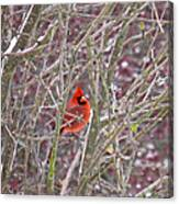 Male Cardinal Cold Day 2 Canvas Print