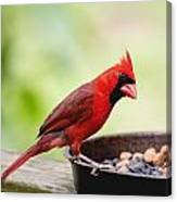 Male Cardinal Dinner Time Canvas Print