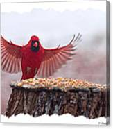 Male Cardinal Landing  Canvas Print