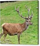 Male Deer On Field Canvas Print
