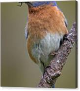 Male Eastern Bluebird With Spider Canvas Print