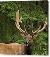 Male Elk, Bow Valley Parkway, Banff Canvas Print
