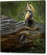 Male Fox   #3575 Canvas Print