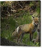 Male Fox And Pup   #3554 Canvas Print