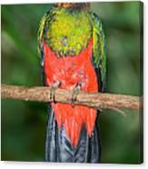 Male Golden-headed Quetzal Canvas Print