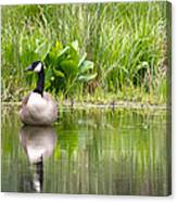 Male Goose  Canvas Print