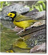 Male Hooded Warbler Canvas Print