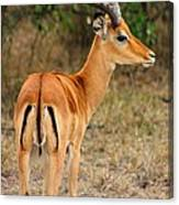 Male Impala With Horns Canvas Print