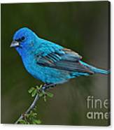 Male Indigo Bunting Canvas Print