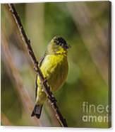 Male Lesser Goldfinch Canvas Print