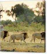 Male Lions At Dawn, Moremi Game Canvas Print