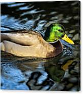 Male Mallard Canvas Print