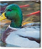 Male Mallard Duck  Canvas Print