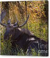 Male Moose   #3865 Canvas Print