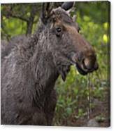 Male Moose   #5696 Canvas Print