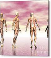 Male Muscular System From Four Points Canvas Print