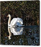 Male Mute Swan Canvas Print