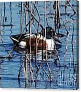 Male Northern Shoveler Lacassine Nwr Canvas Print