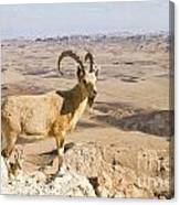 Male Nubian Ibex Capra Ibex Nubiana 1 Canvas Print