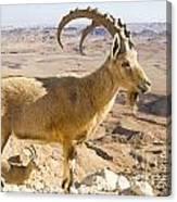 Male Nubian Ibex Capra Ibex Nubiana Canvas Print