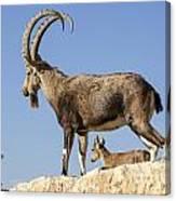 Male Nubian Ibex Canvas Print