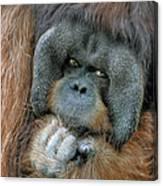 Male Orangutan  Canvas Print