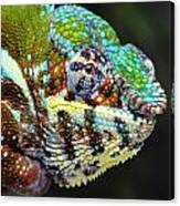 Male Panther Chameleon Furcifer Canvas Print