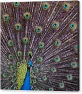 Male Peacock   #9053 Canvas Print