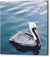 Male Pelican Canvas Print