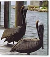 Male Pelicans Canvas Print