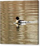 Male Red Breasted Merganser At Sunrise Canvas Print