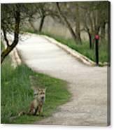 Male Red Fox Vulpes Vulpes Canvas Print