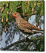Male Red-shafted Northern Flicker Canvas Print