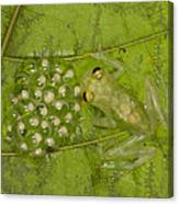 Male Reticulated Glass Frog  Guarding Canvas Print