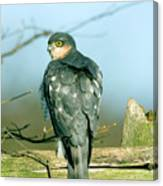 Male Sparrowhawk Canvas Print