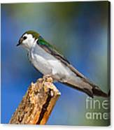 Male Violet-green Swallow Canvas Print