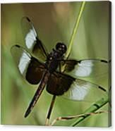 Male Widow Skimmer Dragonfly Canvas Print