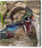 Male Wood Duck Dwf029 Canvas Print