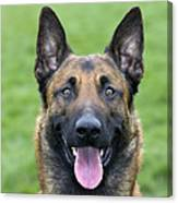 Malinois, Belgian Shepherd Dog Canvas Print